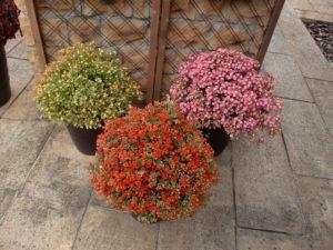 園芸品種ちゅらら三色