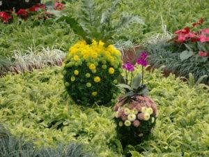 菊の花のボール