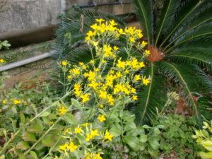 リュウキュウベンケイソウの花
