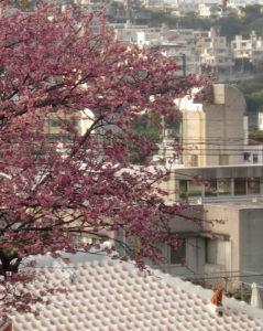 寒緋桜と赤瓦
