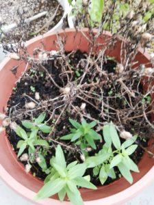キンギョソウの芽